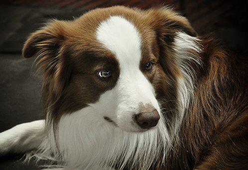 Border Collie, Dog, Quadruped, British Sheepdog, Border