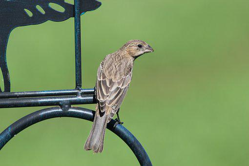 Bird, Finch, House Finch, Female, Perched, Nature