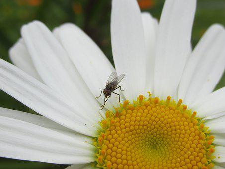 Fly, Chamomile, Flower, Nature