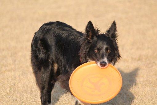 Dog, Border Collie, Black, Playful, Frisbee, Border
