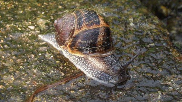 Snail, Rain, Nature, Crawl, Wet, It Slimy, Scallop