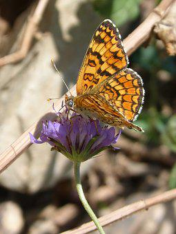 Butterfly, Libar, Flower, Damero Knapweed