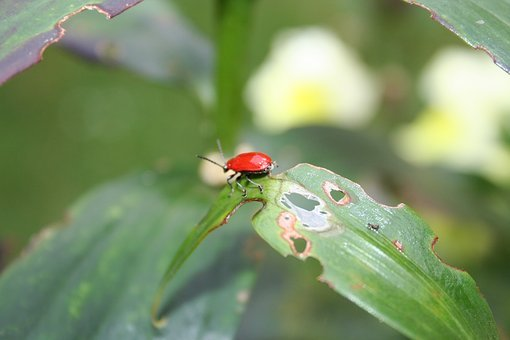 Beetle, Red Beetle, Leaf Damage, Lily Chicken, Insect
