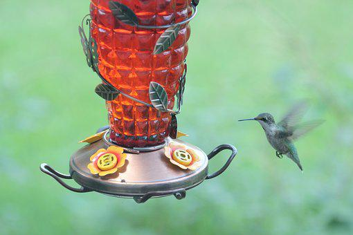 Bird, Hummingbird, Ruby Throated, Wildlife, Nature