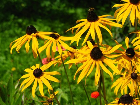 Rudbekia, Rudbekie, Flowers, Yellow, Plant, Summer