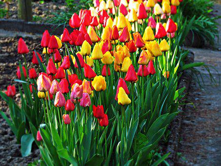 Flowers, Tulips, Garden, Plant, Beauty, Spring