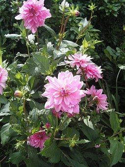 Pink, Dalhia, Summer