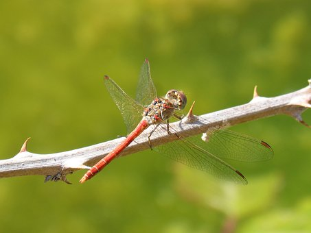 Dragonfly, Red Dragonfly, Sympetrum Sinaiticum
