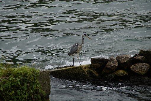 Grey Heron, Heron, Bird, Eastern, Nature, Animal