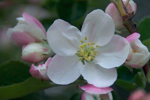 Spring, Apple, Apple Flower, Nature, Flowers, Tree, Sad