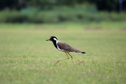 Bird, Grass, Walking, Aves
