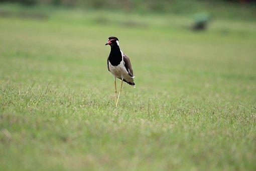 Bird, Aves, Grass