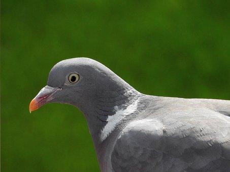 Dove, Bird, Bird Pigeon, Animal, Nature, City Pigeon