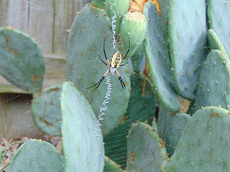 Spider Web, Black And Yellow Argiope, Argiope Aurantia