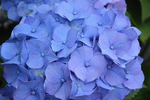 Flower, Flower Hydrangea Blue, Petals, Ball, Botany