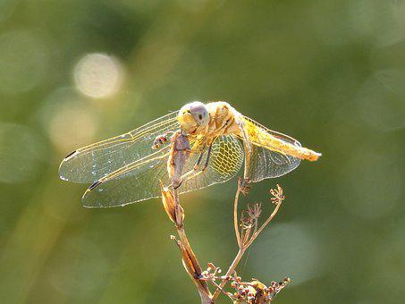 Yellow Dragonfly, Dragonfly, Dried Plant, Backlight