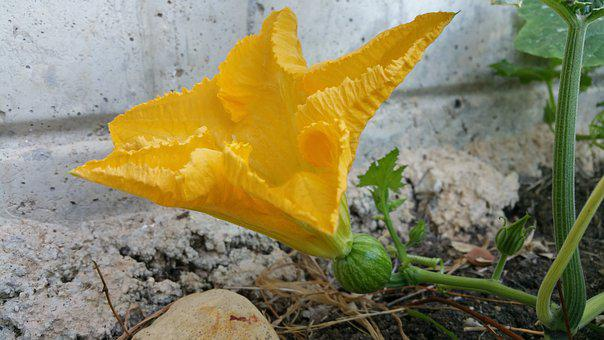 Pumpkin Flower, Yellow Flower, Nature, Flower, Green