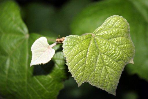 Grape Leaves, Nature, Green, Plant, Closeup, Foliage