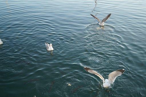 Seagulls, Feeding-time, Landing On Water