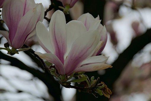 Magnolias, Magnolia Flower, Flower, Spring, Nature