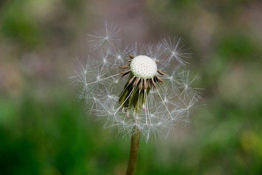 Nuns, Seeds, Dandelion, Macro, The Delicacy, Nature