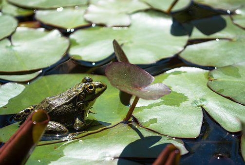 Frog, Green, Pond, Frog In The Pond