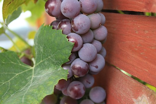 Grapes, Nature, The Cultivation Of, Food, Fruit, Eating