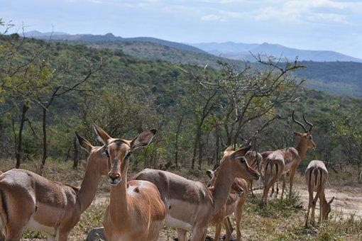 Springbok, South Africa, Wild Animals, Natural, Nature