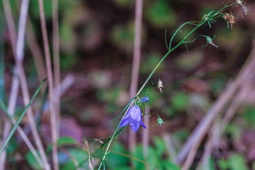 Bluebell, Bellflower, Wildflower, Nature, Straw