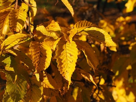 Leaves, Autumn, Fall Color, Yellow, Coloring, Hornbeam