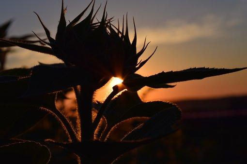Sunset, Sun Flower, Back Light, Sky, Red, Evening