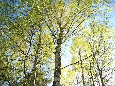 Young Birches, Birches In Spring, Birch, Spring