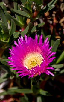 Flower, Bright, Bloom, Pink, Yellow, Pigface