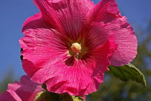 Stock Rose, Cottage Garden, Garden, Blossom, Bloom