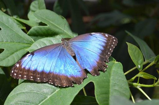 Morpho Peleides, Butterfly, Blue, Bug, Insect