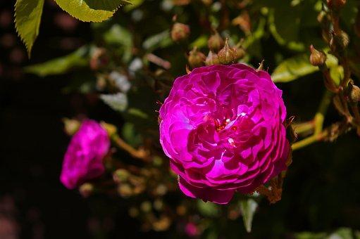 Blue Magenta, Rose, Ramplerrose, Rampler, Colorful