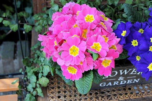 Primula, Rose, Flower, Pink, Blue, Pot, Garden, House