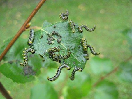 Caterpillar, Breitfüßige Birch Sawfly, Birch Leaf