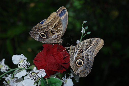 Morpho Peleides, Caligo, Eurilochus, Butterfly, Animal