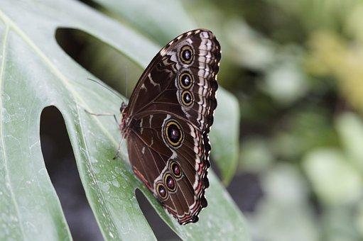 Blue Morpho, Butterfly, Rainforest, Morpho Peleides