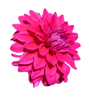 Dahlia, Isolated, Pink, Red, Gorgeous, Flower, Blossom