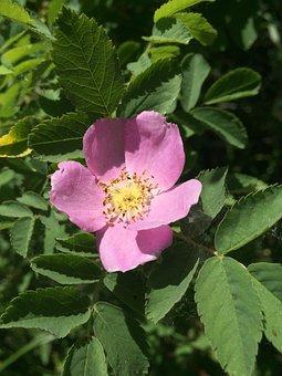 Wild Rose, Flower, Pink Flower, Wild Flower