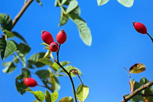 Rose Hip, Fruit, Red, Bush, Plant, Rose Greenhouse, Sky