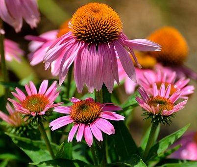 Cone Flowers, Purple, Floral, Garden, Landscape, Beauty