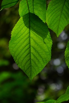 Hornbeam, Leaf, Leaves, Green, Color, Shades Of Green