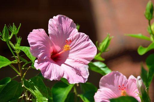 Hibiscus, Flower, Floral, Garden, Stamen, Pink