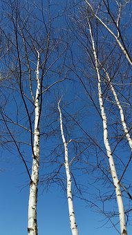 Birch, Aspen, Wisconsin, Midwest, Trees, Hike