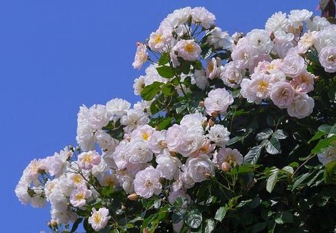 Verny Park, Rose, White, Huang, Pink, Blue Sky