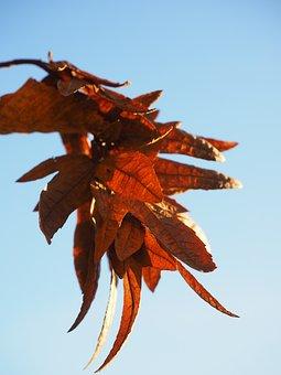 Infructescence, Fruit, Brown, Hornbeam, Autumn