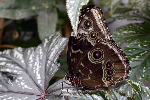 Butterfly, Insect, Wing, Flying, Animal, Black, Brown